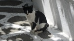 Mykonos Street Cat