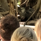 Feral Pig watching us whilst we watch him